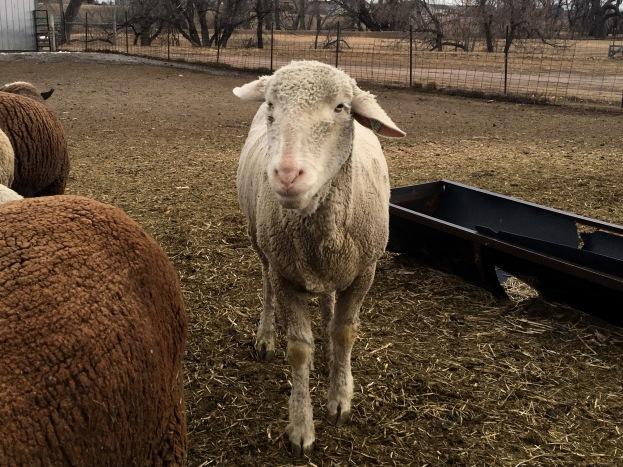 sheep24